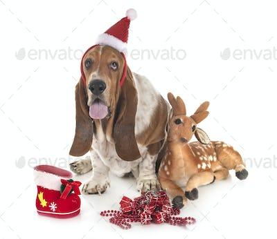 basset hound in studio