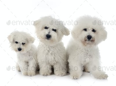 Bichon Frises in studio