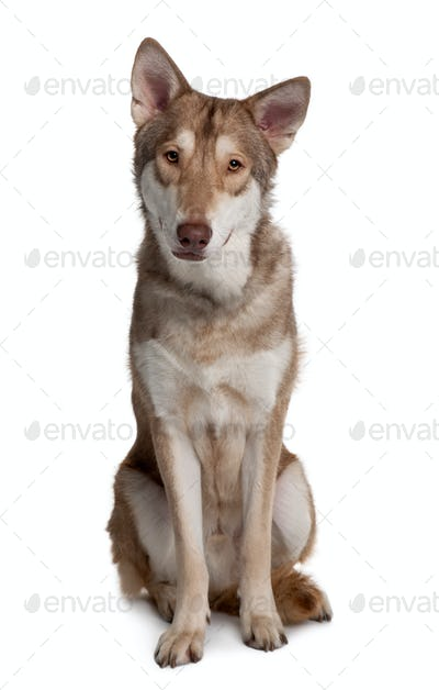 Saarlooswolf Dog sitting in front of white background