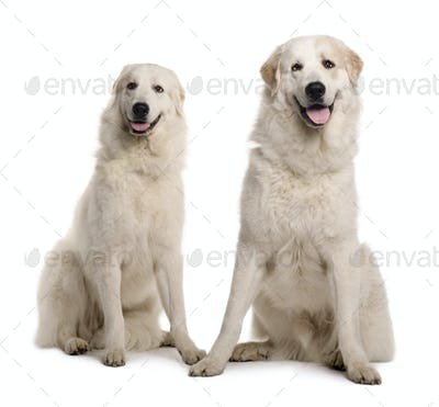 Two Great Pyreness or Pyrenean Mountain Dogs, 2 years old, sitting in front of white background