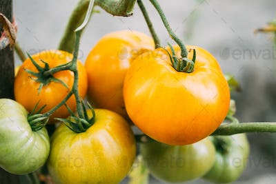 Yellow Growing Organic Tomato. Homegrown Tomatoes In Vegetable G