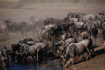 wildbeest migration betwen Serengeti and Maasai Mara national pa