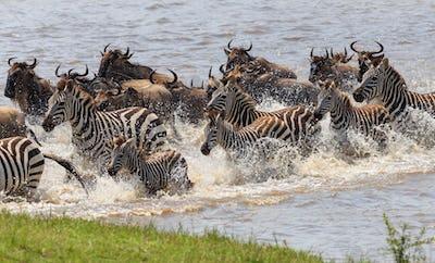 zebra in the wilderness of East Africa