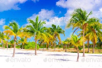 Palm trees on white sand beach. Playa Sirena. Cayo Largo. Cuba