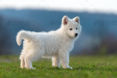Puppy cute White Swiss Shepherd dog portrait on meadow