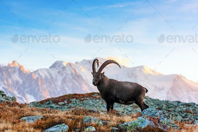 Wild goat in the France Alps