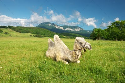 Camel in mountain meadow
