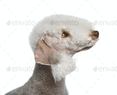 Bedlington terrier, 2 years old, in front of white background