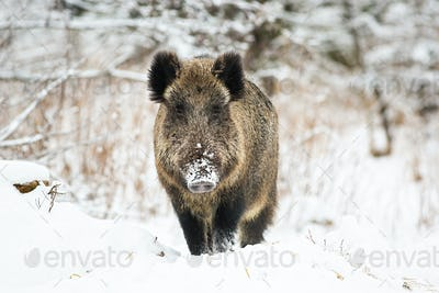 Powerful wild boar standing in snow facing camera and watching in winter