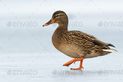 Female dabbling duck walking on ice winter with one leg in the air