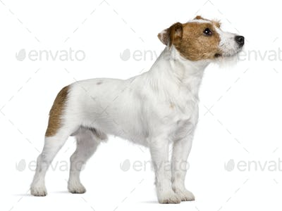 Jack Russell Terrier, 15 months old, standing in front of white background