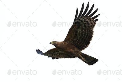 African harrier-hawk (Polyboroides typus)