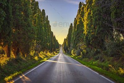 Bolgheri famous cypresses tree straight boulevard. Maremma, Tusc