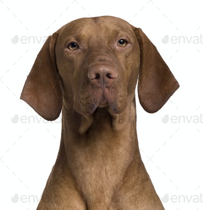 Vizla Dog, 17 months old, sitting in front of white background