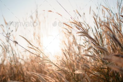 Wilted grass in early autumn
