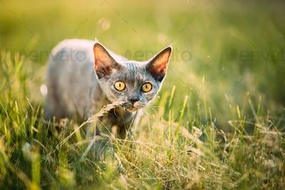 Funny Curious Young Gray Devon Rex Kitten Sneaks In Green Grass.