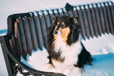 Shetland Sheepdog, Sheltie, Collie Sitting On Bench Outdoor In S