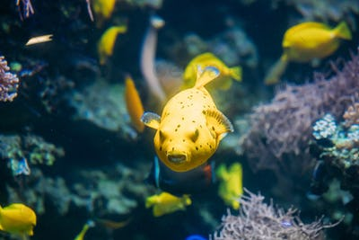 Yellow Blackspotted Puffer Or Dog-faced Puffer Fish Arothron Nig
