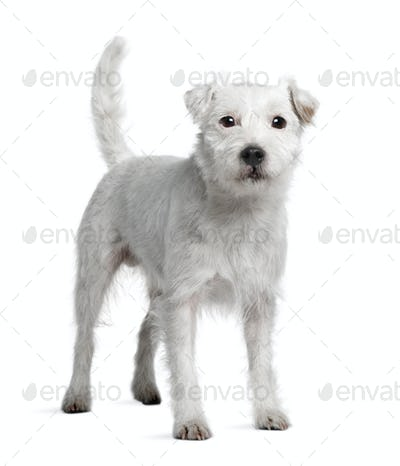 Parson Russell Terrier standing in front of white background