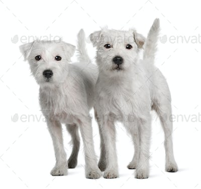 Two Parson Russell Terriers standing in front of white background