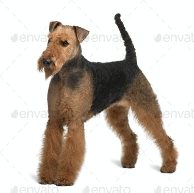 Airedale Terrier, 2 years old, standing in front of white background