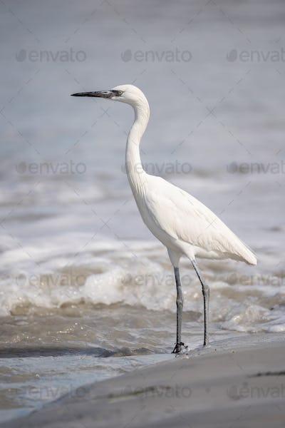 Reddish Egret (Juvenile)