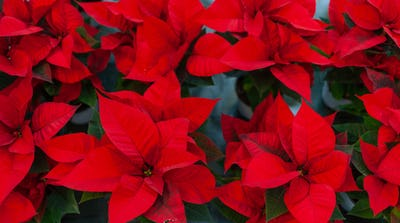 Red poinsettia flower, also known as the Christmas star or Bartholomew star.