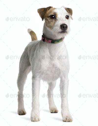 Parson Russell Terrier, 2 years old, standing in front of white background
