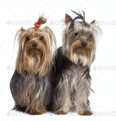Yorkshire terriers, 9 months old, standing in front of white background