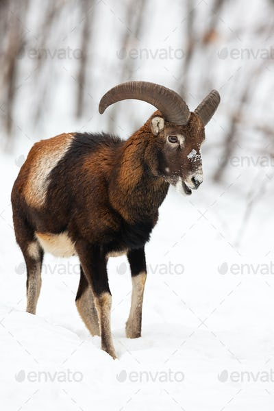 Male mouflon walking and chewing in winter forest covered in snow