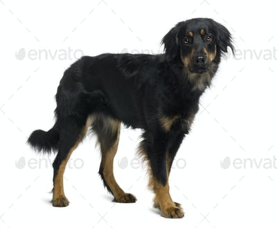 Hovawart dog, 15 months old, standing in front of white background