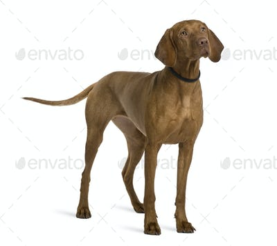 Viszla dog, 2 years old, standing in front of white background