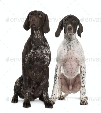 Two German Shorthaired Pointers, 3 years old, sitting in front of white background