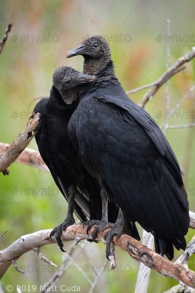 Black Vultures Preening