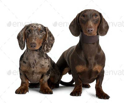 Couple of Dachshunds, 18 and 5  months old, sitting in front of white background