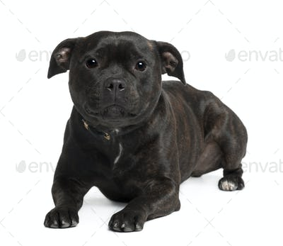 Staffordshire bull terrier sitting in front of white background