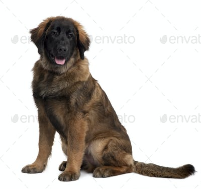 Leonberger puppy, 6 months old, sitting in front of white background