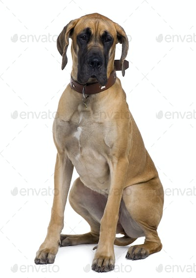 Great Dane, 1 year old, sitting in front of white background