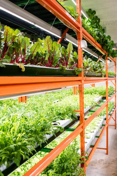 Several shelves with fresh green seedlings of various kinds of vegetables