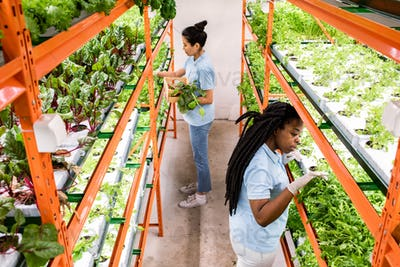Two intercultural female greenhouse workers making selection of seedlings
