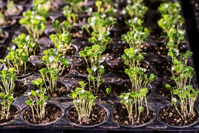 Many small pots with tiny seedlings of lettuce or other garden plant in soil