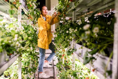 Young Asian female in casualwear picking up strawberries in greehouse