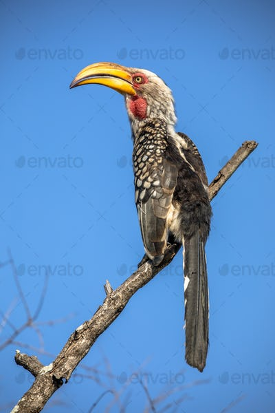Southern yellow billed hornbill against blue sky