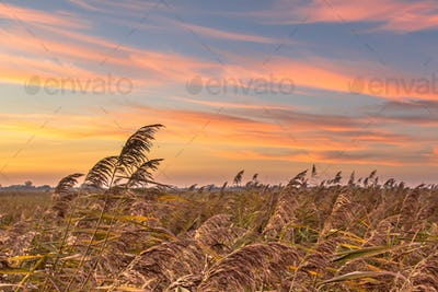 Reedland at sunset