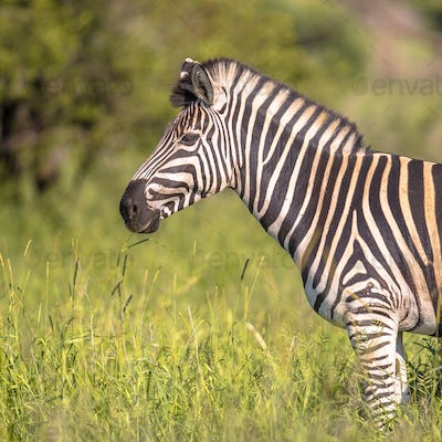 Common Zebra portrait