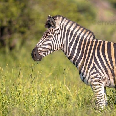Common Zebra portrait