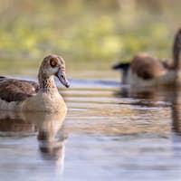 Egyptian goose couple
