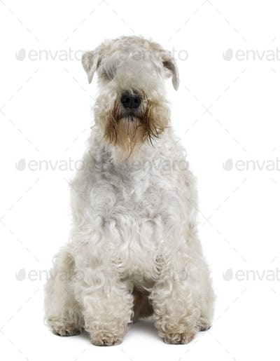 Soft-Coated Wheaten Terrier, 3 years old, sitting in front of white background