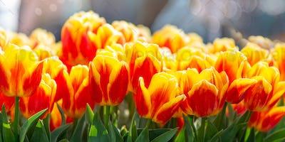 Flower gardens in the Netherlands during spring.