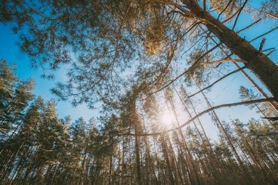 Looking Up In Beautiful Pine Coniferous Forest Trees Woods Canopy